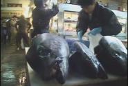 Tuna\'s head
